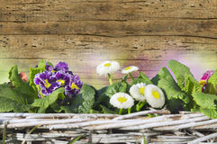 Blue primula and daisies on old wood wall Stock Image