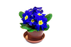 Blue primula flower in the flower pot Royalty Free Stock Image