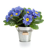 Blue Primroses Stock Photos