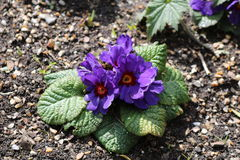 Blue primula in Hyde Hall Royalty Free Stock Photos