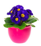 Blue primulas in pink pot on white Royalty Free Stock Photos