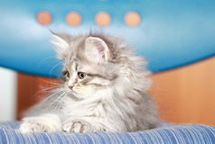 Blue puppy of siberian breed Royalty Free Stock Photo