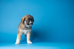 Blue puppy Studio. Cute puppy on blue backdrop Royalty Free Stock Photo