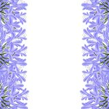 Blue Purple Agapanthus Border - Lily of the Nile, African Lily. Vector Illustration. isolated on White Background Royalty Free Illustration
