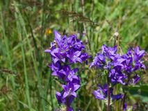 Blue-purple Bellflower, Campanula, flowers with bokeh background, close-up, selective focus, shallow DOF. Blue-purple Bellflower Campanula flowers with bokeh Stock Photography