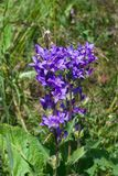 Blue-purple Bellflower, Campanula, flowers with bokeh background, close-up, selective focus, shallow DOF. Blue-purple Bellflower Campanula flowers with bokeh Royalty Free Stock Image
