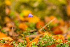 Blue-purple bellflower- Campanula rapunculoides wildflower closeup macro royalty free stock photo