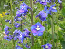 Blue-and-purple blooming delphiniums in the garden Stock Photos