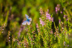 Blue and purple butterfly is sitting on a flower in a forest. Wildlife background stock photography