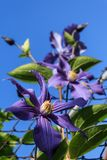 Blue-purple clematis royalty free stock photo
