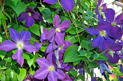 Blue purple clematis flowers Royalty Free Stock Photo