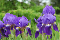 Blue and purple colored iris flowers Stock Image