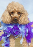 Blue and Purple Feather Pooch Stock Image