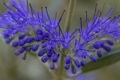 Bluebeard, Caryopteris clandonensis stock images