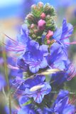 Blue purple flower Royalty Free Stock Images