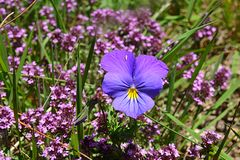 Larger blue-purple flower in the group of small purple flower. Blue-purple flower with yellow center, Viola tricolor, Also known as  heartsease, acts as a giant Stock Photo