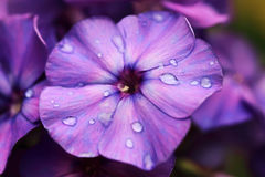 Blue purple flowers of Phlox Paniculata Stock Photography