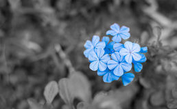 Blue -purple  flowers Royalty Free Stock Images