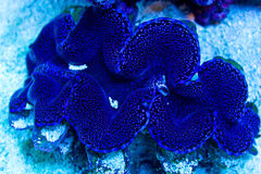 Blue and Purple Giant Clam. Blue and Purple spotted Tridacna squamosa clam on the sandbed Royalty Free Stock Photo
