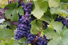 Blue-Purple Grape Clusters. Dark grapes changing color during veraison Royalty Free Stock Images