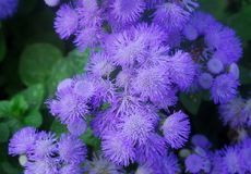 Blue Purple hairy Flower Stock Image