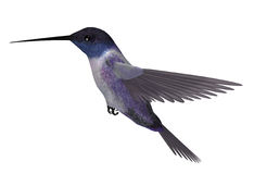 Blue Purple Hummingbird Stock Images