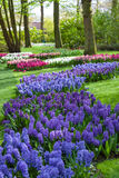Blue and Purple Hyacinth Flowers at Spring Garden Keukenhof, Netherlands. Stock Images