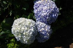 Blue and purple hydrangea. ít`s blue and purple hydrangea, grow and somewhere in the tropics Royalty Free Stock Photography