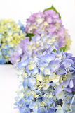 Blue and purple hydrangea Royalty Free Stock Photos
