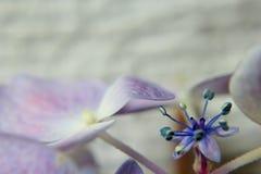 Blue and purple hydrangea royalty free stock photos