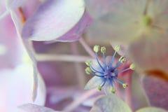 Blue and purple hydrangea stock photos