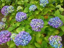 Blue and Purple Hydrangea Flowers Stock Images