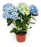 Blue and purple hydrangea Royalty Free Stock Image