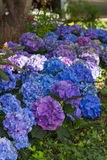 Blue & Purple Hydrangeas. Hydrangea flowers in different shades of blue and purple in the garden Royalty Free Stock Photo