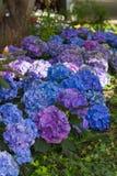 Blue & Purple Hydrangeas Royalty Free Stock Photo