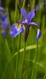 Blue / Purple Iris Flower. Blue / Purple colour iris flower pm green Stock Images