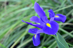 Blue and purple iris flower Stock Images