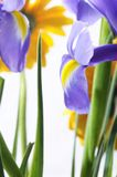 Blue purple iris flower and yellow flower Royalty Free Stock Photography