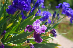 Blue and purple iris flowers drooping bright Stock Photography