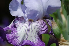 Blue purple iris. Purplish blue iris grown at arboretum in northern virginia Stock Image