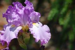 Blue purple iris. Purplish blue iris grown at arboretum in northern virginia Royalty Free Stock Photography