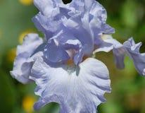 Blue purple iris. Purplish blue iris grown at arboretum in northern virginia Royalty Free Stock Image