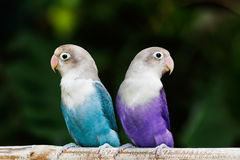 Blue and purple lovebird standing on the perch in the garden Stock Image