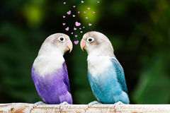 Blue and purple lovebird standing and staring on the perch in th Stock Images