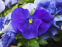 Blue and purple pansies with dew drops. Stock Photos