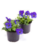Blue purple pansy Stock Photos