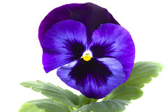 Blue purple pansy Stock Image