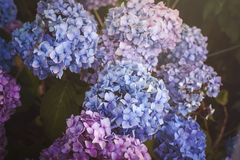 Blue, purple and pink hydrangea Royalty Free Stock Photo