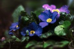 Blue purple primula flower Stock Image
