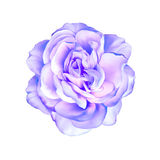 Blue purple rose flower isolated on white Stock Image